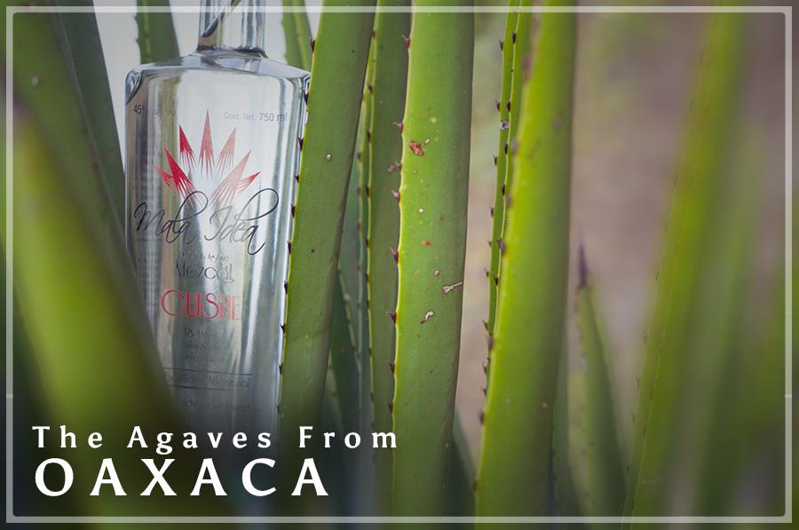 AGAVES FRON OAXACA